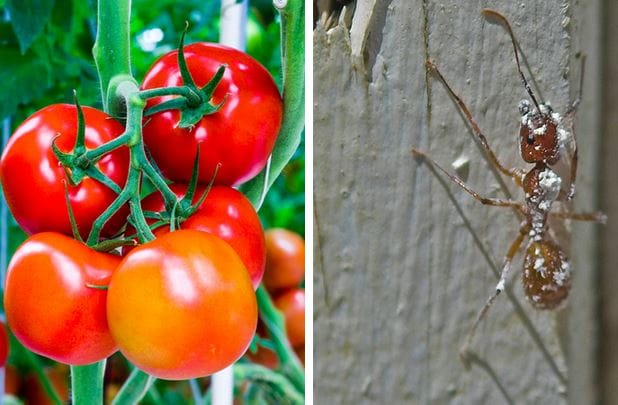 bunch tomatoes on vine ant on wood